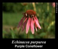 Purple Coneflower Flowers